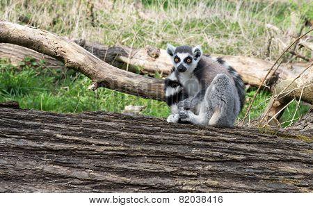 Lone Lemur Sitting