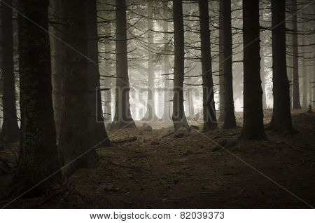 Mountain pine tree forest with dark fog