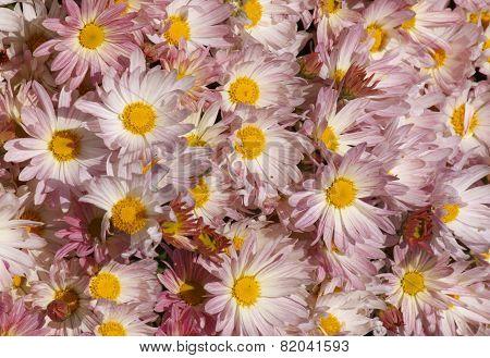 Chrysanthemums In A Garden