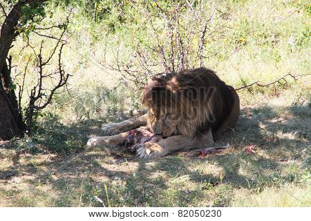 Lion eats the prey