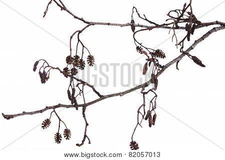 Winter Alder Branch On A White Background