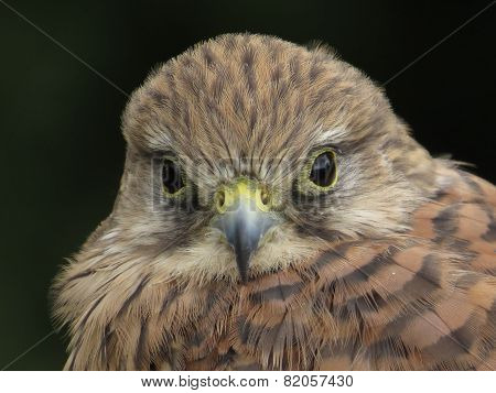 Kestrel Head