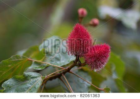 Urucum, Brazilian Fruit