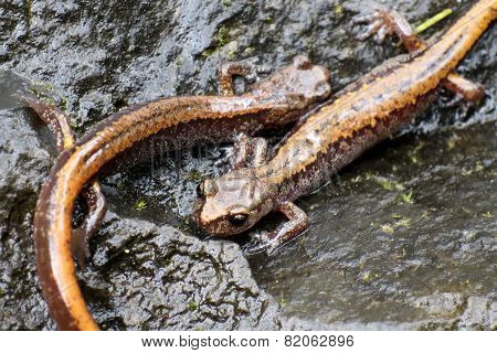 Larch Mountain Salamanders