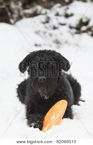 Big Black Schnauzer Dog Is Plying With An Orange toy