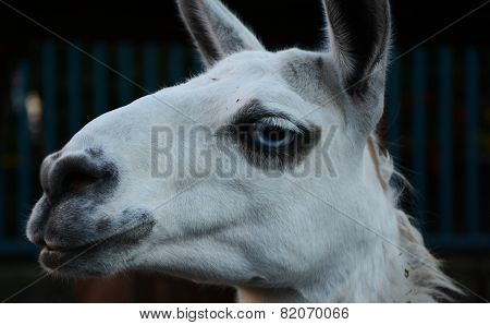White Lama With Blue Eyes In The Zoo