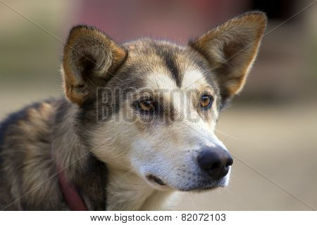 Head Of Alaskan Husky With Ears Pricked Up Looking Sideways