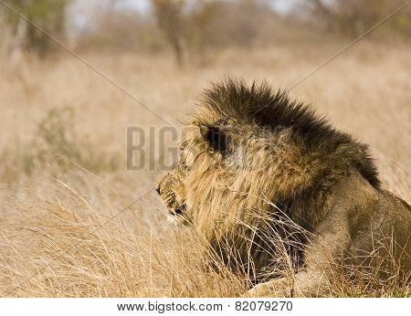 portrait of a male lion at Kruger national park, South Africa