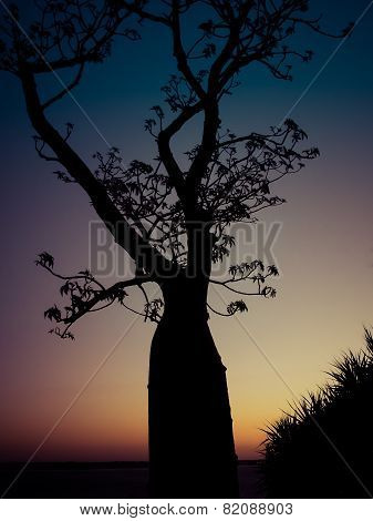 Silhouette of an Ancient Boab Tree at Sunset, Western Australia