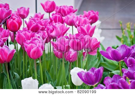 Pink, purple and white tulips on the flowerbed