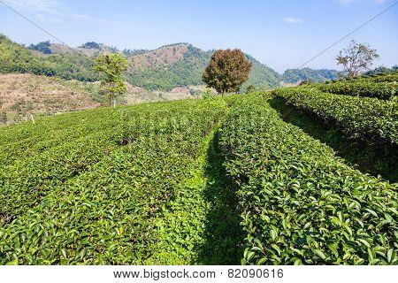 Tea plantation in Mae Salong, Thailand