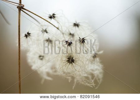 fluffy seeds liane pods clematis