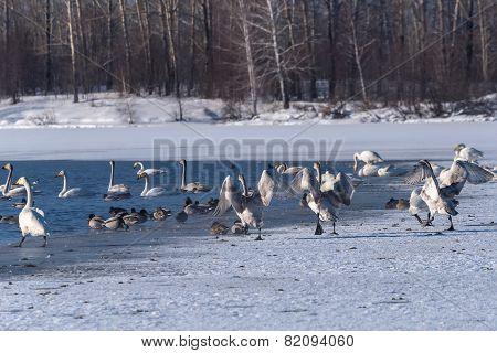 Swan Lake Winter Birds Dance