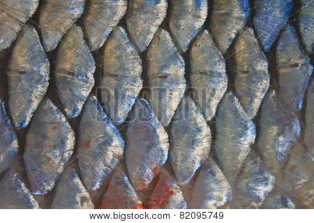 Scales of fresh water fish