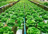 stock photo of hydroponics  - green lettuce cultivation hydroponics green vegetable in farm - JPG