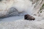 pic of volcanic  - A large male bison relaxing next to the hot muddy water of a volcanic pool at Yellowstone National Park - JPG