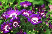 pic of purple white  - Cineraria flowers and buds,many beautiful purple with white cineraria flowers and buds blooming in the garden
