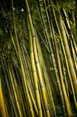 picture of bamboo forest  - Green bamboo forest in a Chinese garden - JPG