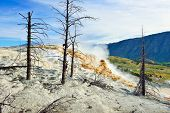 pic of walking dead  - Dead trees in Mammoth Hot Springs area of Yellowstone National Park Wyoming - JPG