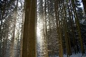 image of coniferous forest  - driving snow in a coniferous forest between the boles - JPG