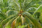 Постер, плакат: Ripe coconuts at the coconut palm at Koh Samui Thailand