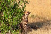 stock photo of cheetah  - Male cheetah sitting in grass and looking for its pray in Masai Mara Kenya - JPG