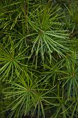 picture of conifers  - Detail of a conifer in a garden - JPG