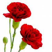 picture of carnation  - Two Red Carnation Flowers On A White Background - JPG