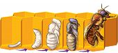 picture of bee-hive  - Vector illustration of life cycle of a bee - JPG