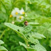 pic of potato bug  - Two mature colorado bugs on the potato bush - JPG