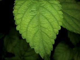stock photo of lantana  - Closeup of a leaf of plant Lantana Camara commonly known as Spanish Flag or West Indian Lantana - JPG