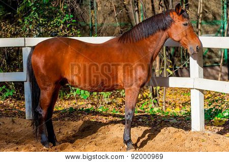 Beautiful Well-groomed Stallion Near White Wooden Fence