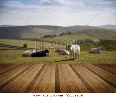 Cattle In Peak District Uk Landscape On Sunny Day Concept Image