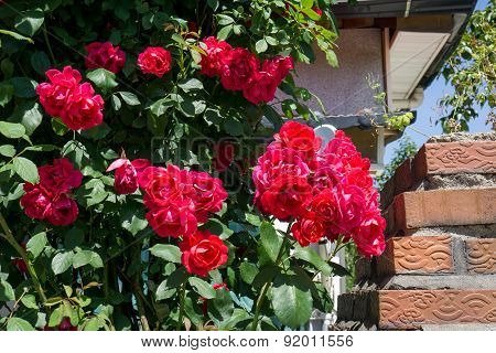Red Roses Hanging Out