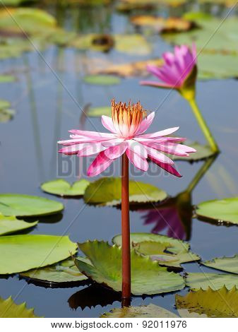 sweet pink lotus