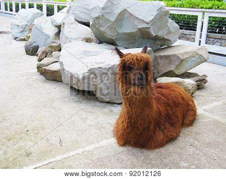 Lamas In A Zoo