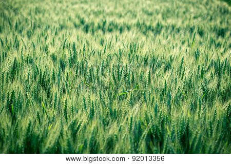 Green wheat field - unripe wheat