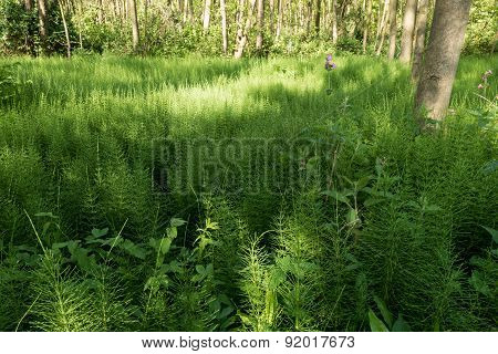 Forest With Horsetail.