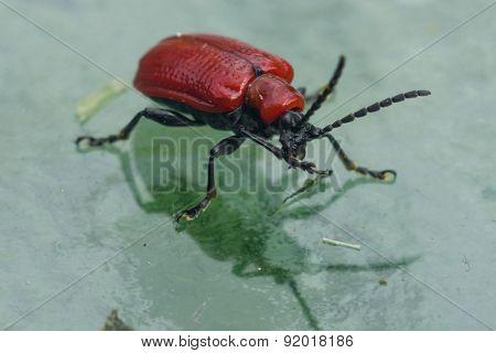 Scarlet Lily Beetle