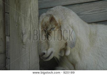 Goat Nap