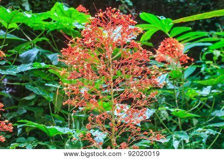 Clerodendrum Paniculatum or Pagoda Flower
