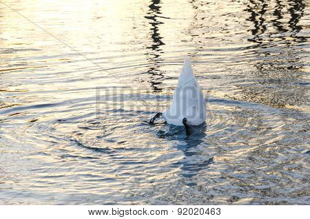 Swan in blue water.