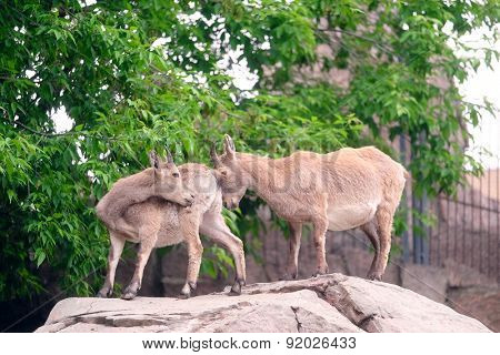 females of a mountain goat
