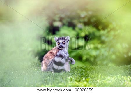 Lemur Sitting On Grass