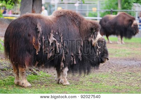 The image of a bison