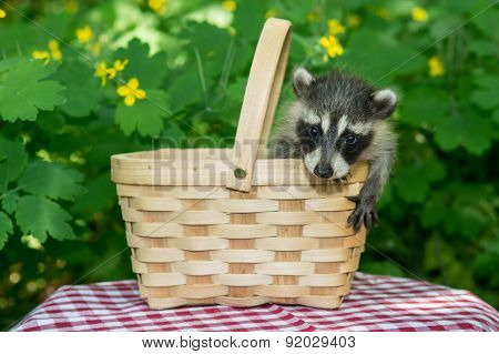 Baby Raccoon in a picnic basket