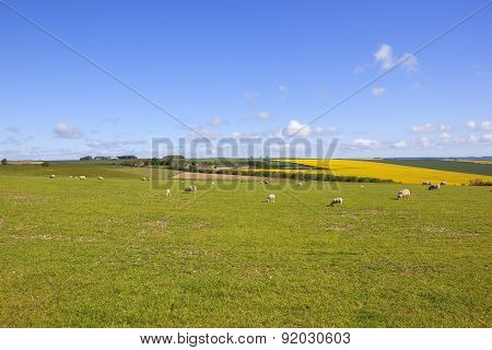 Yorkshire Wolds Livestock In Springtime