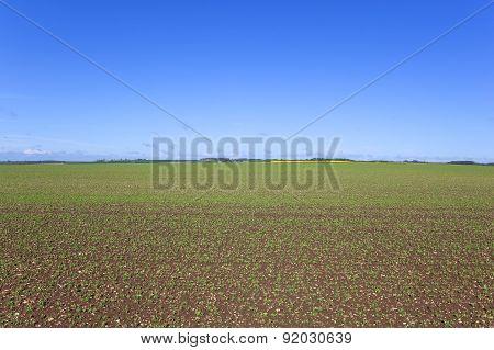 Springtime Pea Field