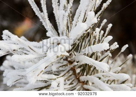Snow on the pine needles