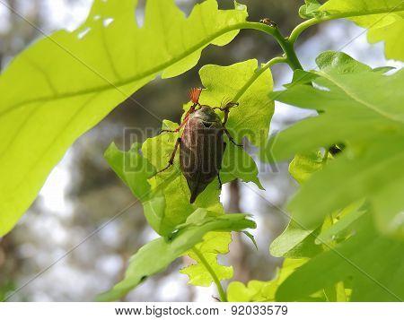 May-bug on an oak leaf.